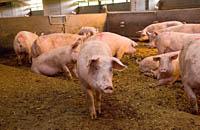 Clapham shop bedfordia pigs